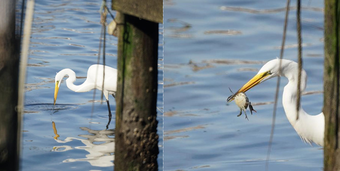 Egret enjoying a crab for dinner.